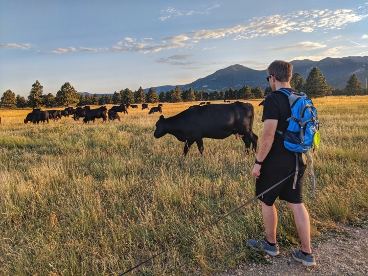 We watched the cows cross the path as the sun set on the mountains.