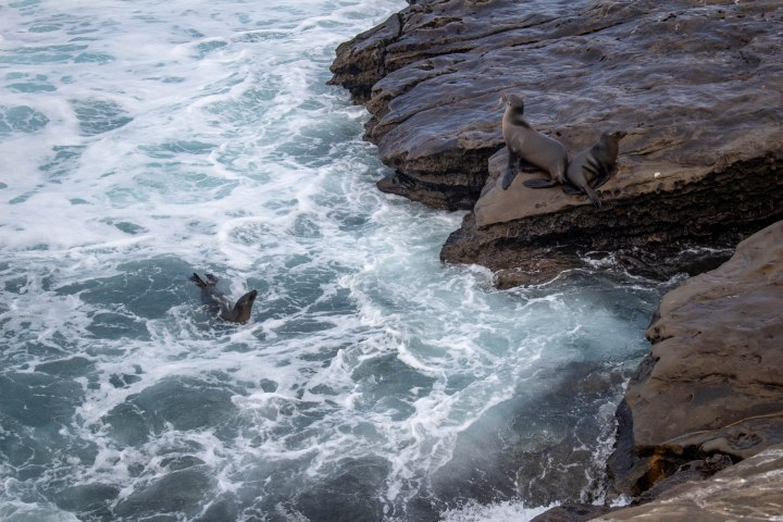 While most sea lions enjoyed napping on the cliffside, a few dove into the water for a morning dip as the tide rolled in.